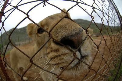 A Captive Lioness Puts Her Nose Up Against a Wire Fence in an Animal Sanctuary in South Africa-Keith Ladzinski-Photographic Print