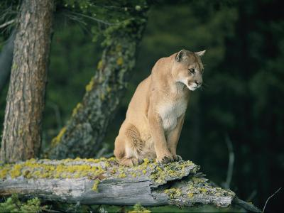 A Captive Male Mountain Lion Sits Atop the Trunk of a Fallen Tree--Photographic Print