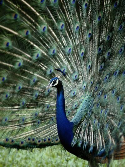 A Captive Male Peacock Displaying His Feathers-Tim Laman-Photographic Print
