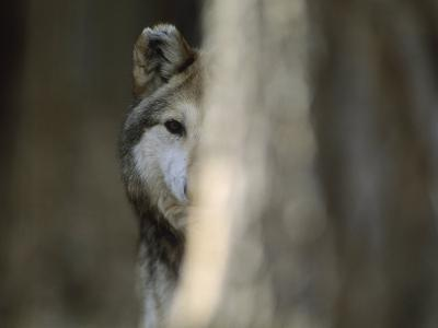 A Captive Mexican Gray Wolf Peers from Behind a Tree Trunk-Joel Sartore-Photographic Print