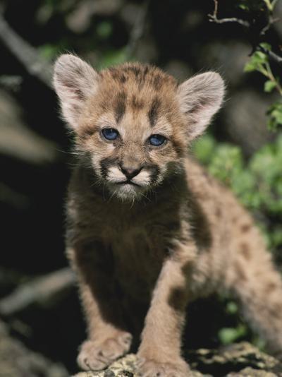 A Captive Mountain Lion Cub (Felis Concolor) Takes a Walk-Tom Murphy-Photographic Print