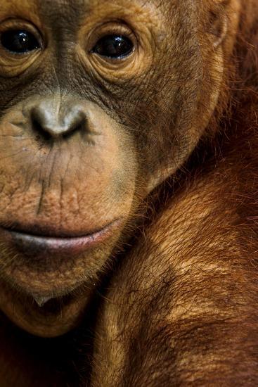 A Captive Orangutan at the Borneo Orangutan Survival Center in Nyaru Menteng-Mattias Klum-Photographic Print