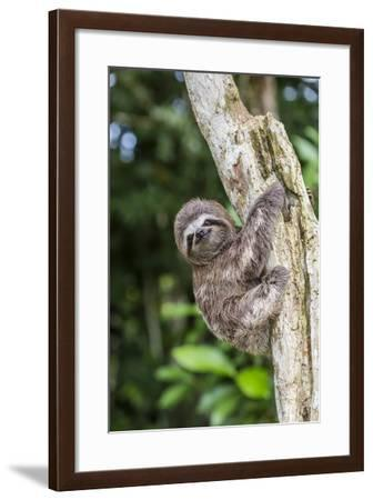 A captive pet brown-throated sloth (Bradypus variegatus), San Francisco Village, Loreto, Peru-Michael Nolan-Framed Photographic Print