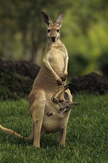 A Captive Red Kangaroo (Macropus Rufus) Mother Carrying Her Young in Her Pouch-Tim Laman-Photographic Print
