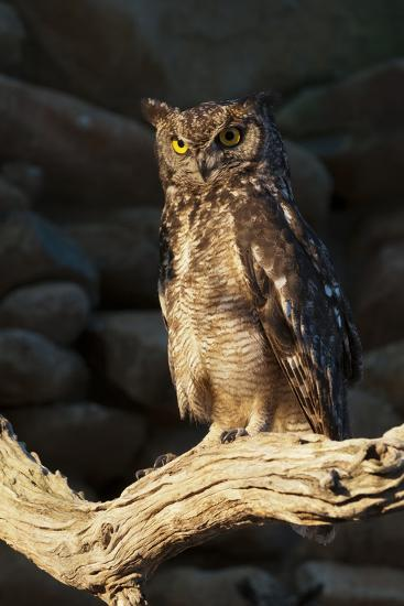 A Captive Spotted Eagle Owl, Bubo Africanus, Perching on a Tree Branch-Sergio Pitamitz-Photographic Print
