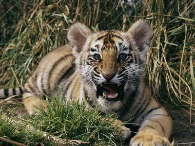 A Captive Tiger Gives a Little Roar--Photographic Print
