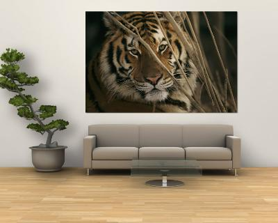 A Captive Tiger Shows a Formidable Expression--Wall Mural