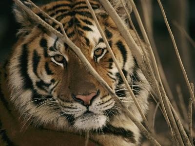 A Captive Tiger Shows a Formidable Expression-Roy Toft-Photographic Print
