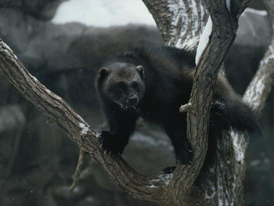 A Captive Wolverine in a Snow-Dusted Tree-Annie Griffiths Belt-Photographic Print