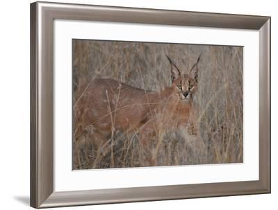 A Caracal, Felis Caracal, Walks Through Tall Grass-Cagan Sekercioglu-Framed Photographic Print