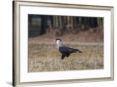 A Caracara Bird Walks in Ibirapuera Park in the Morning-Alex Saberi-Framed Photographic Print