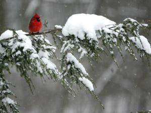 A Cardinal Sits on a Snow-Covered Branch