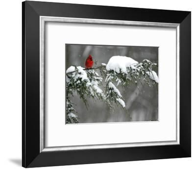 A Cardinal Sits on a Snow-Covered Branch--Framed Photographic Print
