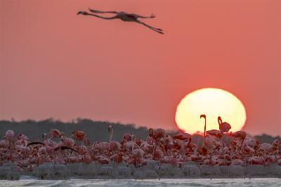 A Caribbean Flamingo, Phoenicopterus Ruber, in Flight at Sunset-Steve Winter-Photographic Print