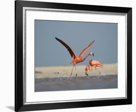 A Caribbean Flamingo Runs to Take Off from Shallow Backwaters-Klaus Nigge-Framed Photographic Print