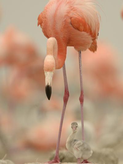 A Caribbean Flamingo with Chick in a Breeding Colony-Klaus Nigge-Photographic Print