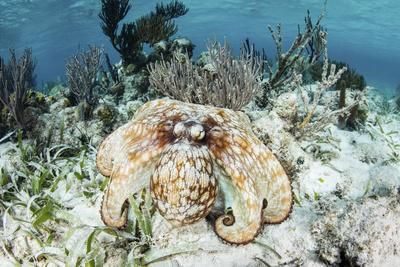 A Caribbean Reef Octopus on the Seafloor Off the Coast of Belize-Stocktrek Images-Photographic Print