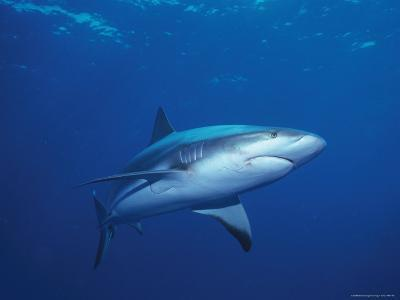 A Caribbean Reef Shark Cruising in Clear Blue Waters-Nick Caloyianis-Photographic Print