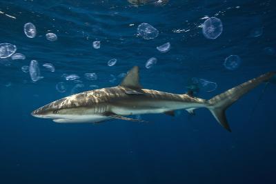 A Caribbean Reef Shark Patrols Gardens of the Queen National Marine Park in Cuba-David Doubilet-Photographic Print