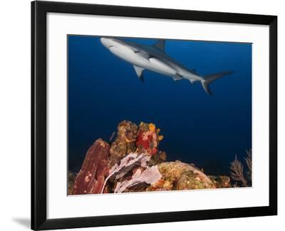 A Caribbean Reef Shark Swims in Waters Off Roatan Island-Cesare Naldi-Framed Photographic Print