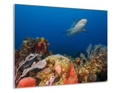 A Caribbean Reef Shark, with Attached Remora, Swims in Waters Off Roatan Island-Cesare Naldi-Metal Print