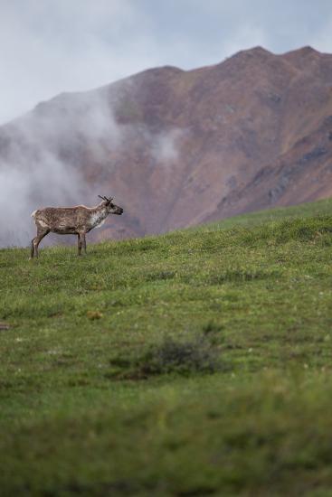 A Caribou, Rangifer Tarandus, Stands Alone in Denali National Park-Erika Skogg-Photographic Print