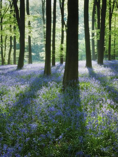 A Carpet of Bluebells (Endymion Nonscriptus) in Beech (Fagus Sylvatica) Woodland, Hampshire, UK-Guy Edwardes-Photographic Print