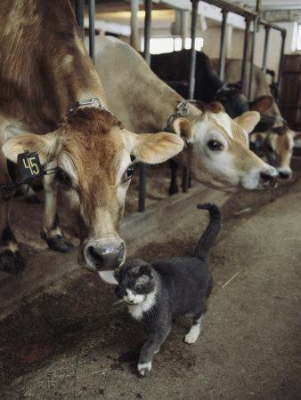 https://imgc.artprintimages.com/img/print/a-cat-accepts-a-lick-from-a-cow-at-a-dairy-farm-in-massachusetts_u-l-p4qg410.jpg?p=0