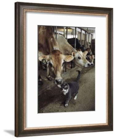 A Cat Accepts a Lick from a Cow at a Dairy Farm in Massachusetts-Ira Block-Framed Photographic Print
