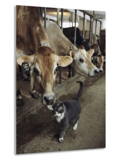 A Cat Accepts a Lick from a Cow at a Dairy Farm in Massachusetts-Ira Block-Metal Print