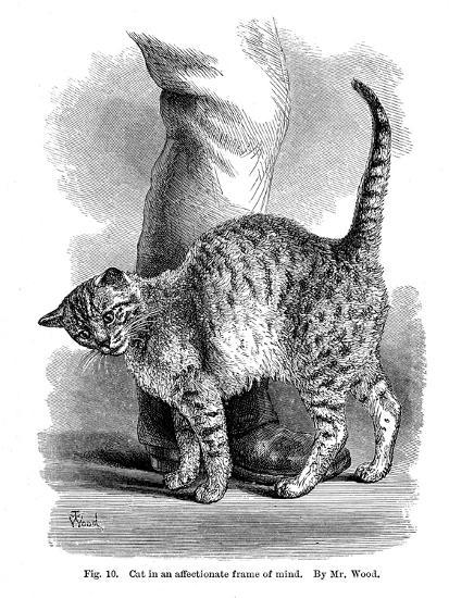 A Cat in Affectionate Frame of Mind, from the Expression and Emotions in Man and Animals, 1872--Giclee Print