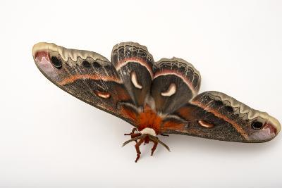A Cecropia Moth, Hyalophora Cecropia, at the Minnesota Zoo-Joel Sartore-Photographic Print