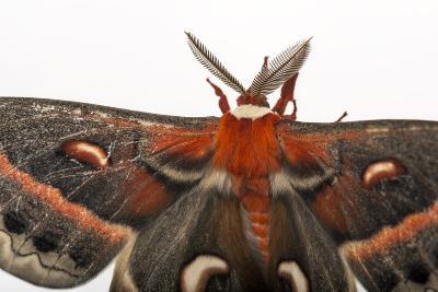 A Cecropia Moth, Hyalophora Cecropia, at the Minnesota Zoo-Joel Sartore-Photographic Print