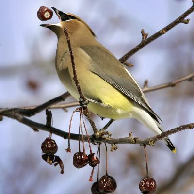 A Cedar Waxwing Tosses up a Fruit from a Flowering Crab Tree, Freeport, Maine, January 23, 2007-Robert F. Bukaty-Photographic Print