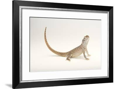 A Central Netted Dragon, Ctenophorus Nuchalis, at the Wild Life Sydney Zoo-Joel Sartore-Framed Photographic Print