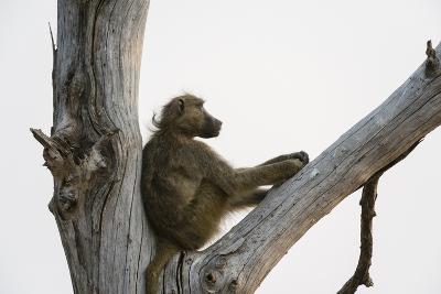 A Chacma Baboon, Papio Ursinus, Resting in a Dead Tree-Sergio Pitamitz-Photographic Print