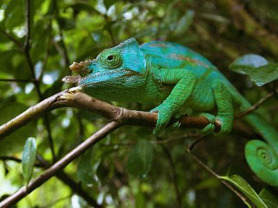 A Chameleon Sits on a Branch of a Tree in Madagascar's Mantadia National Park Sunday June 18, 2006-Jerome Delay-Photographic Print