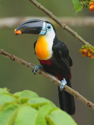A Channel Billed Toucan, Ramphastos Vitellinus, Eating Fruit-George Grall-Photographic Print