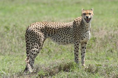 A Cheetah, Acinonyx Jubatus, Growling-Cagan Sekercioglu-Photographic Print