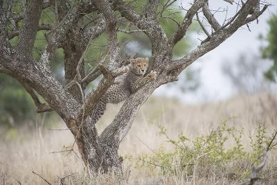 A Cheetah Cub, Acinonyx Jubatus, Climbing A Tree-Andrew Coleman-Photographic Print