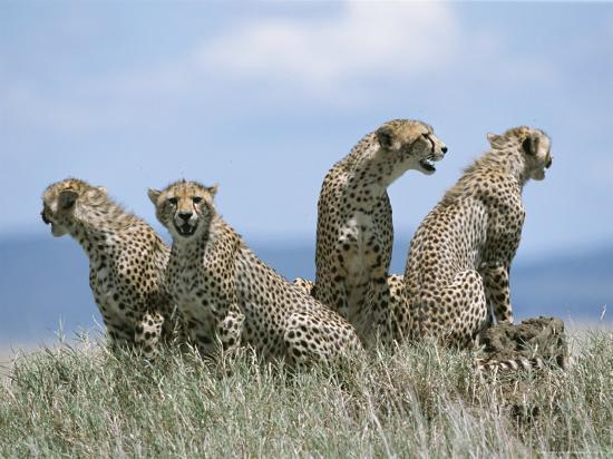 A Cheetah Family-David Pluth-Photographic Print