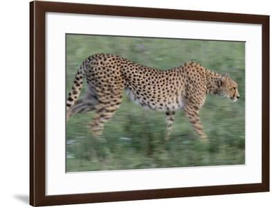 A Cheetah Stalking in Serengeti National Park, Tanzania-Michael Melford-Framed Photographic Print
