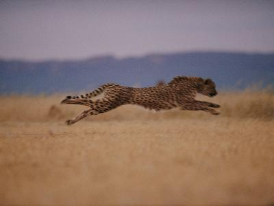 A Cheetah with Limbs Parallel to the Ground While in Full Sprint-Chris Johns-Photographic Print