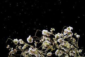 A Cherry Tree under the Firmament