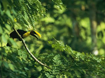 A Chestnut-Mandibled Toucan Perches on a Branch--Photographic Print