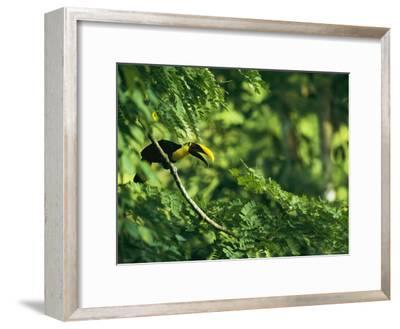 A Chestnut-Mandibled Toucan Perches on a Branch--Framed Photographic Print