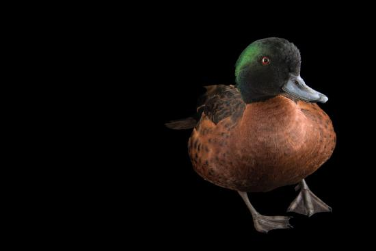 A Chestnut Teal, Anas Castanea, at Sylvan Heights Bird Park-Joel Sartore-Photographic Print