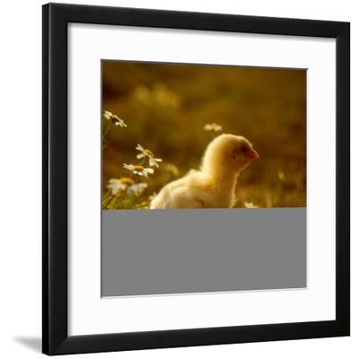 A Chick Standing on the Grass Next to Some Daisy's, Outside- Picturebank-Framed Photographic Print