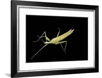 A Children's Stick Insect, Tropidoderus Childrenii, at the Wild Life Sydney Zoo-Joel Sartore-Framed Photographic Print