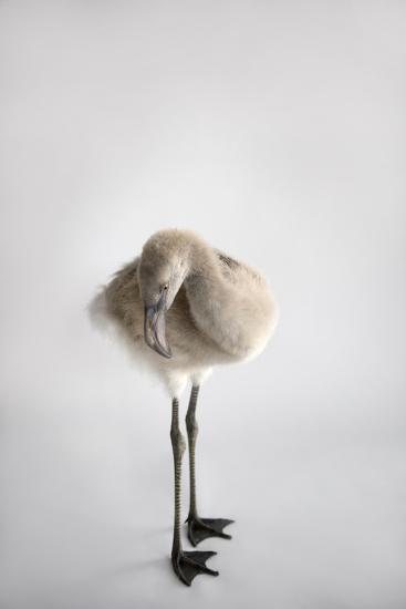 A Chilean Flamingo Chick, Phoenicopterus Chilensis-Joel Sartore-Photographic Print